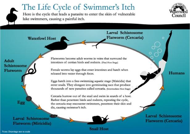 Swimmer's-Itch-Diagram